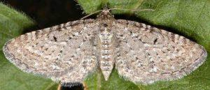 Eupithecia satyrata 06 2