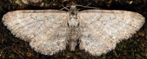 Eupithecia satyrata 06 3