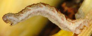 Eupithecia satyrata L5 06 2