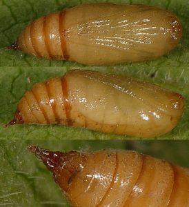 Eupithecia satyrata chrysalide 06 1