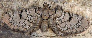 Eupithecia schiefereri 06 1