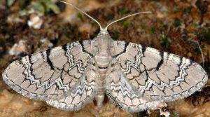 Eupithecia schiefereri 48 1
