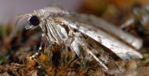Eupithecia schiefereri 48 2