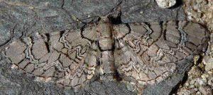 Eupithecia schiefereri 66 1