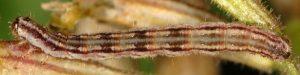 Eupithecia schiefereri L5 48 2