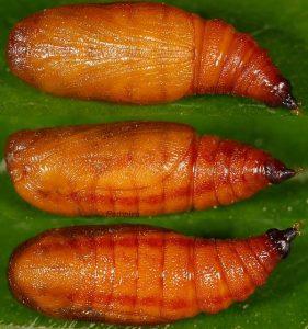 Eupithecia schiefereri chrysalide 48 1