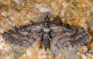 Eupithecia scopariata 2A 1