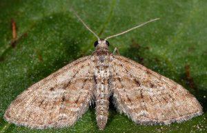 Eupithecia scopariata 83 1