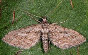 Eupithecia scopariata 83 2