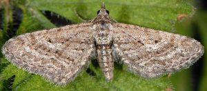 Eupithecia scopariata 83 3
