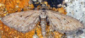 Eupithecia scopariata 83 4