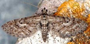 Eupithecia scopariata 83 5