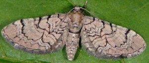 Eupithecia silenicolata 2B 1