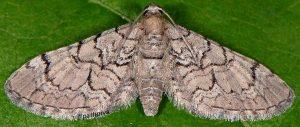 Eupithecia silenicolata 2B 2