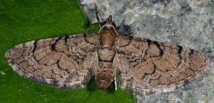 Eupithecia silenicolata 2B 3
