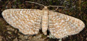 Eupithecia spissilineata 06 1