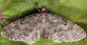 Eupithecia subfuscata 06 1