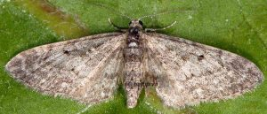 Eupithecia subfuscata 06 2