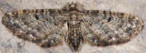 Eupithecia subfuscata 06 3