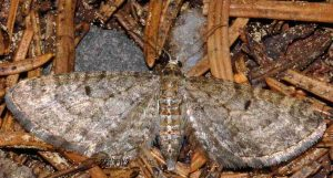 Eupithecia subfuscata 38 1