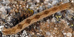 Eupithecia subfuscata L5 3
