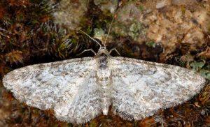 Eupithecia subumbrata 06 2