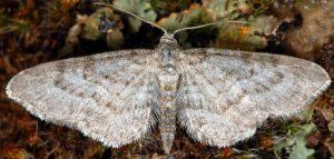 Eupithecia subumbrata 06 3