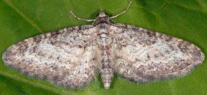 Eupithecia subumbrata 66 1