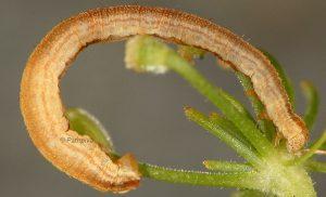 Eupithecia subumbrata L5 1