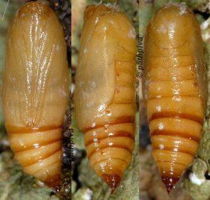 Eupithecia subumbrata chrysalide 06 1