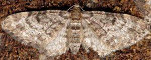 Eupithecia tantillaria 06 1