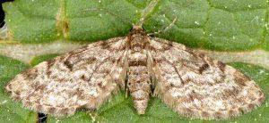 Eupithecia tantillaria 06 2