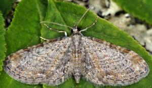 Eupithecia tenuiata 06 1
