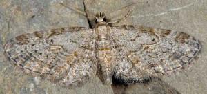 Eupithecia tenuiata 06 2