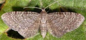 Eupithecia thalictrata 38 1