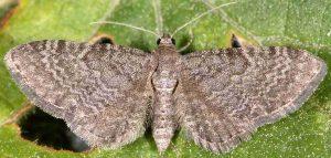 Eupithecia thalictrata 38 2
