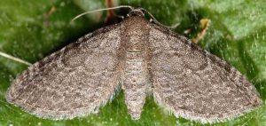 Eupithecia thalictrata 38 3