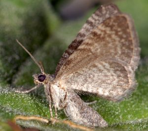 Eupithecia thalictrata 38 4