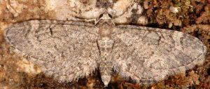 Eupithecia ultimaria 13 2