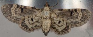 Eupithecia ultimaria 83 1