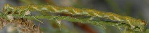 Eupithecia ultimaria L5 13 2