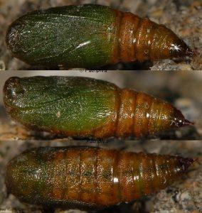 Eupithecia ultimaria chrysalide 13 1