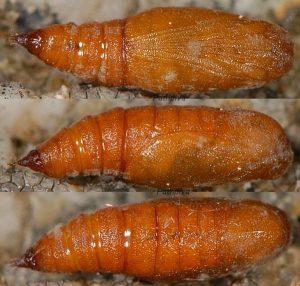 Eupithecia ultimaria chrysalide 83 1
