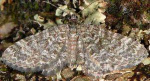 Eupithecia undata 06 1