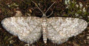 Eupithecia undata 06 4