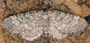 Eupithecia undata 06 5