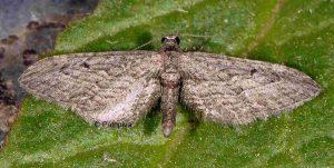 eupithecia-unedonata-2