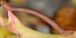 Eupithecia unedonata L3 2