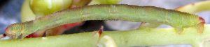 Eupithecia unedonata L5 3