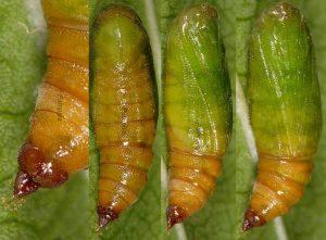 Eupithecia unedonata c 1